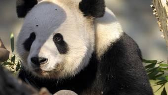 Ein Panda im Zoo von Washington (Archiv)
