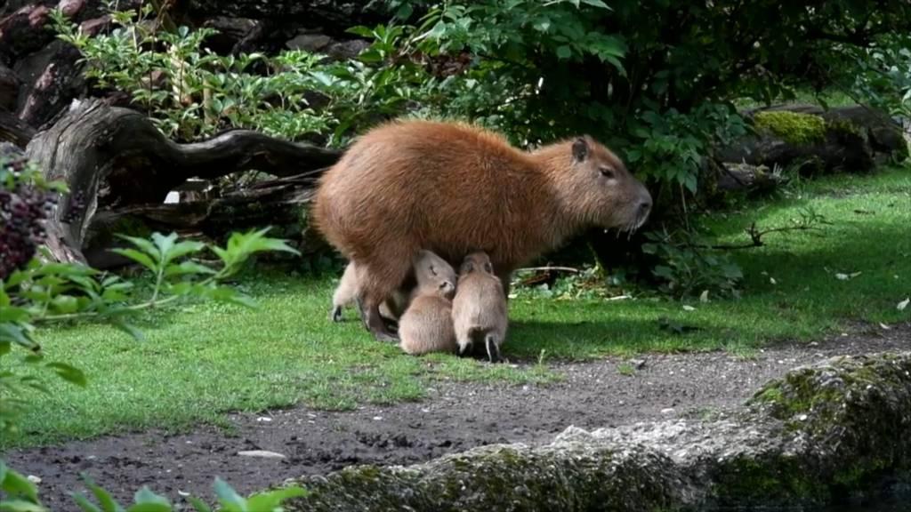 Jö-Alarm im Zoo Zürich: Nachwuchs bei den Wasserschweinen