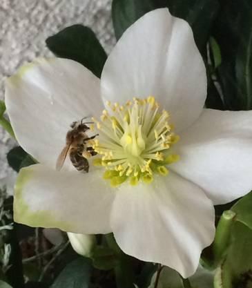 Die Biene und die Christrose!  Ein seltenes Paar am 17. Dezember.