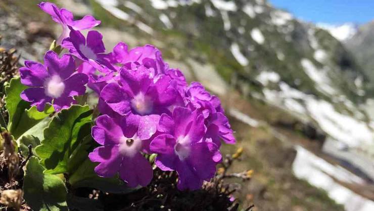 Die Rote Felsenprimel (Primula hirsuta) gehört zu den wenigen Arten, deren untere und obere Verbreitungsgrenze heute tiefer liegt als früher.