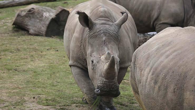 Nashorn Vince (in der Mitte des Bildes) wurde in einem französischen Zoo erschossen - wegen seinem Horn. (Archiv)