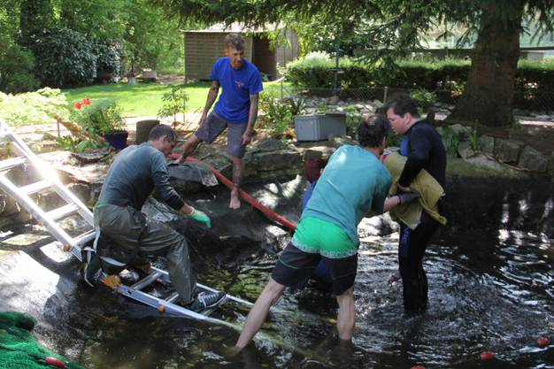 Der Teich der Minigolf-Anlage Dägerli muss umfassend saniert werden. Um sieben Stör-Fische und alle Schildkröten in die provisorischen Bassins zu zügeln, brauchte das Helferteam eine Stunde.