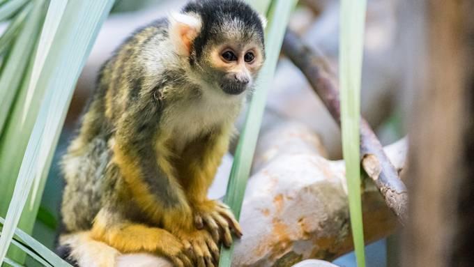Neues Männchen bei den Totenkopfäffchen im Zoo Basel
