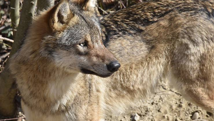Wolf, Hund, Hybrid? Der Walliser Grossrat will sicher sein. Er hiess zwei Postulate gut, dass künftig mit Gen-Analysen Klarheit geschaffen werden soll.