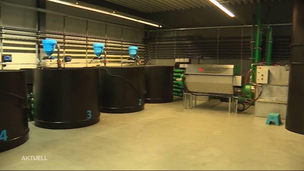 Hochmoderne Indoor-Lachszucht in Wohlen