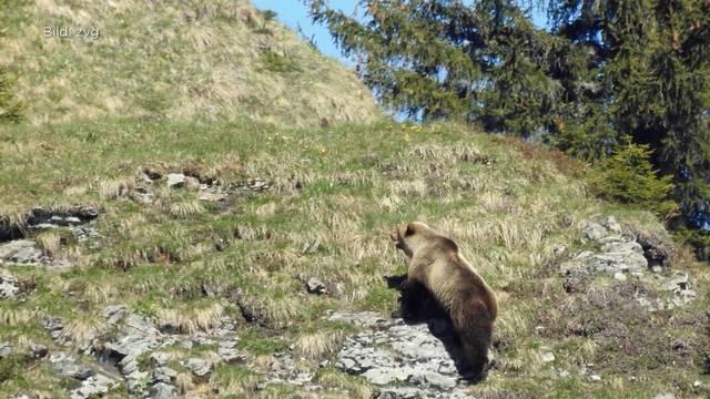 Der Bär ist zurück!