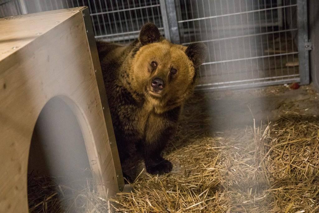 Seit dem 1. Februar leben im Bärenland Arosa drei Bären. Die bislang einzige weibliche Bewohnerin heisst Amelia. (© Arosa Bärenland/Vier Pfoten)