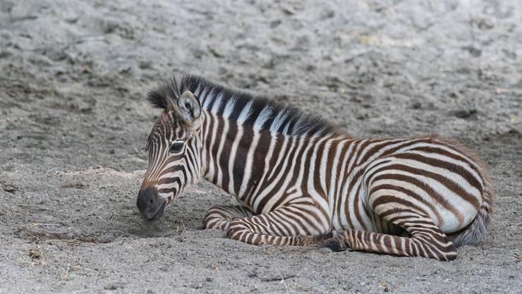 Am 15. Juni erblickte das Zebra-Stutfohlen Quagga das Licht der Welt.