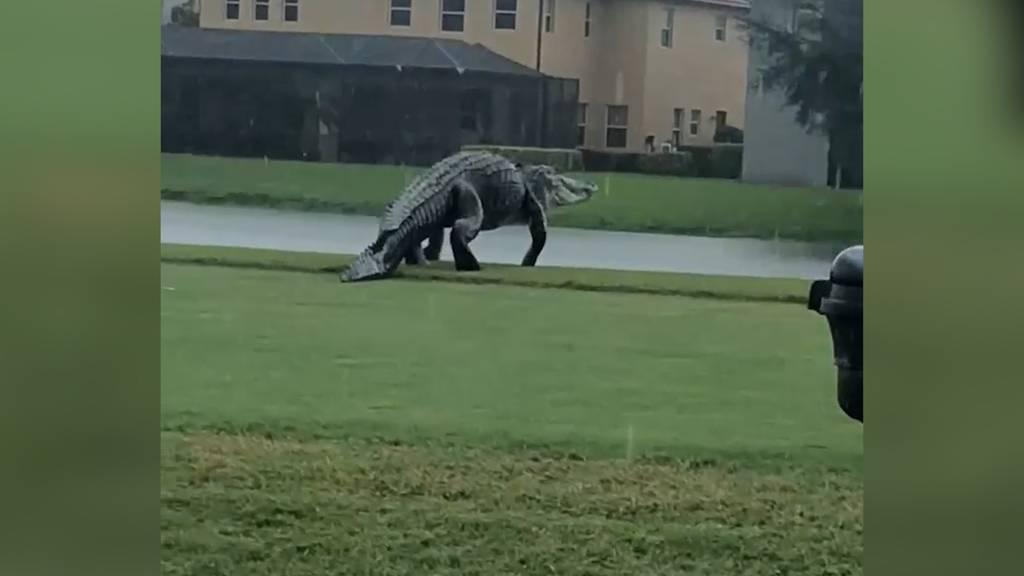 Echt oder Fotomontage? Monster-Alligator erschreckt Golfspieler