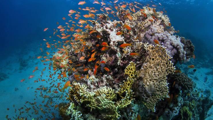 So stellen wir uns Korallenriffe vor: schillernd, bunt, voller Leben.