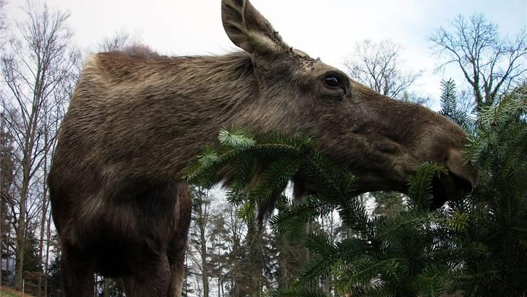 Zurzeit nagen im Tierpark die Elche wieder an nicht verkauften Weihnachtsbäumen. Bald soll ihr Park erweitert werden.
