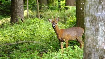 Bewegungslos schaut der von der Fotografin überraschte junge Rehbock in die Kamera. Gleich wird er sich davon machen und innert Sekunden im Gehölz untertauchen. Der Schnappschuss entstand im Wald bei Abtwil. (Leserbild: Ingrid Zürcher)