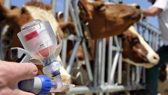 Kühe werden gegen die Blauzungenkrankheit geimpft (Archiv)
