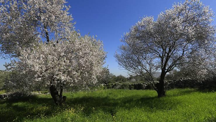 Aufnahme vor zwei Wochen von blühenden Mandelbäumen im Westjordanland