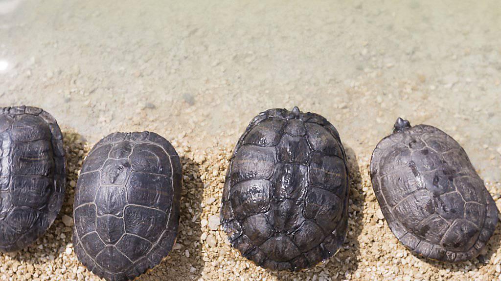 In der Schweiz werden jedes Jahr mehrere hundert Schildkröten ausgesetzt. Die Auffangstation in Chavornay VD wurde vergrössert und hat nun Platz für bis zu 4500 Tiere. (Symbolbild).