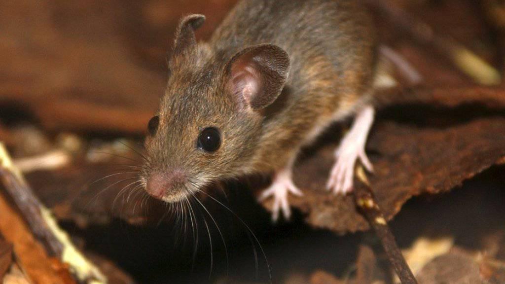 Kann beträchtlichen Schaden anrichten, wenn sie nicht bleibt, wo sie hingehört, die Maus - in die Natur. (Symbolbild)