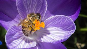 Die Bienen waren in diesem Jahr fleissig: Pro Bienenvolk wurden 23,2 Kilogramm Honig geerntet, eine Menge, die leicht über dem langjährigen Mittelwert liegt.