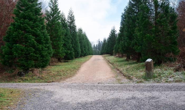 15 Jahre nach «Lothar» bieten die als Sturmbrecher gepflanzten Mammutbäume einen stattlichen Anblick.