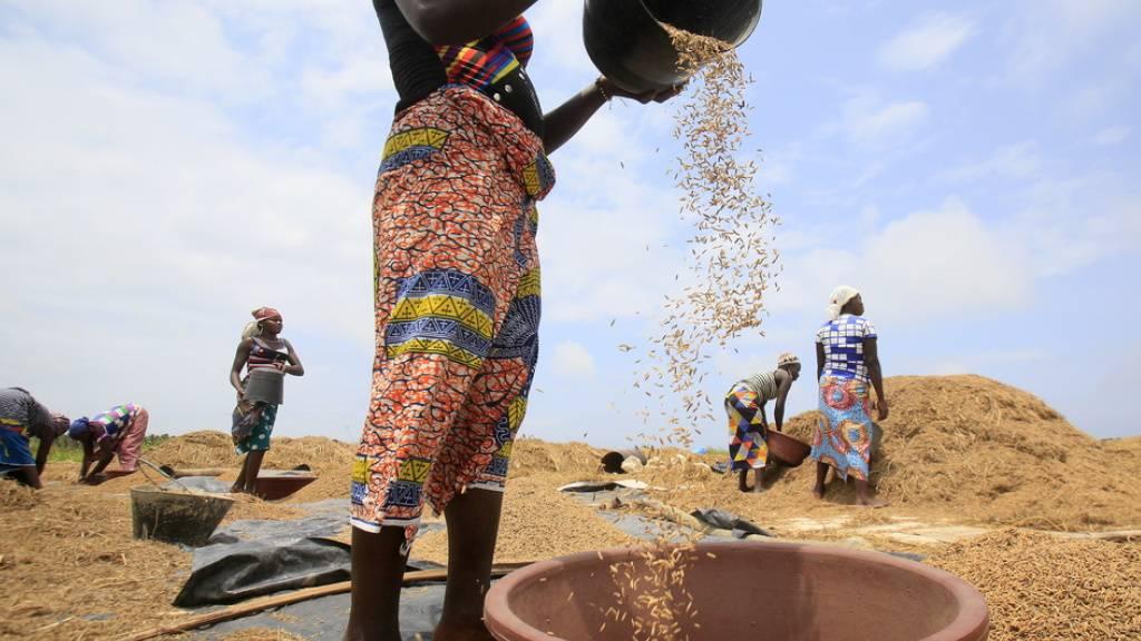 Reis in Afrika ist häufig mit krebserregendem Arsen verseucht. Österreichische Chemiker haben ein einfaches Mittel zur Entgiftung entdeckt: Eisenspäne. Der Rost, der sich auf der Oberfläche der Späne bildet, bindet Arsen, das darauf nicht mehr von Pflanzen aufgenommen werden kann (Archivbild).