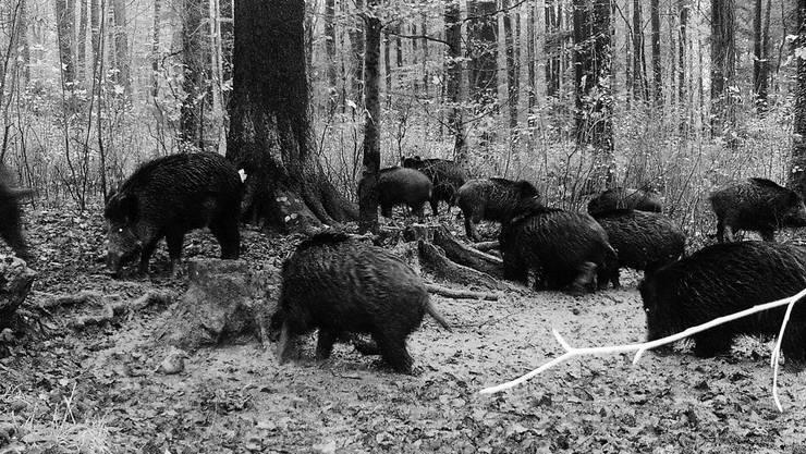 Eine Rotte Wildschweine im Mettauertaler Ortsteil Wil. Fotos: Peter Ipser