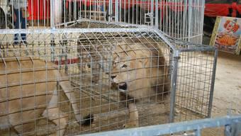 Löwen: Jürg Jenny arbeitet regelmässig mit seinen Tieren.