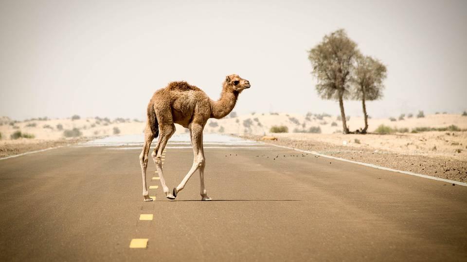 Wilde Kamele werden in Australien erschossen