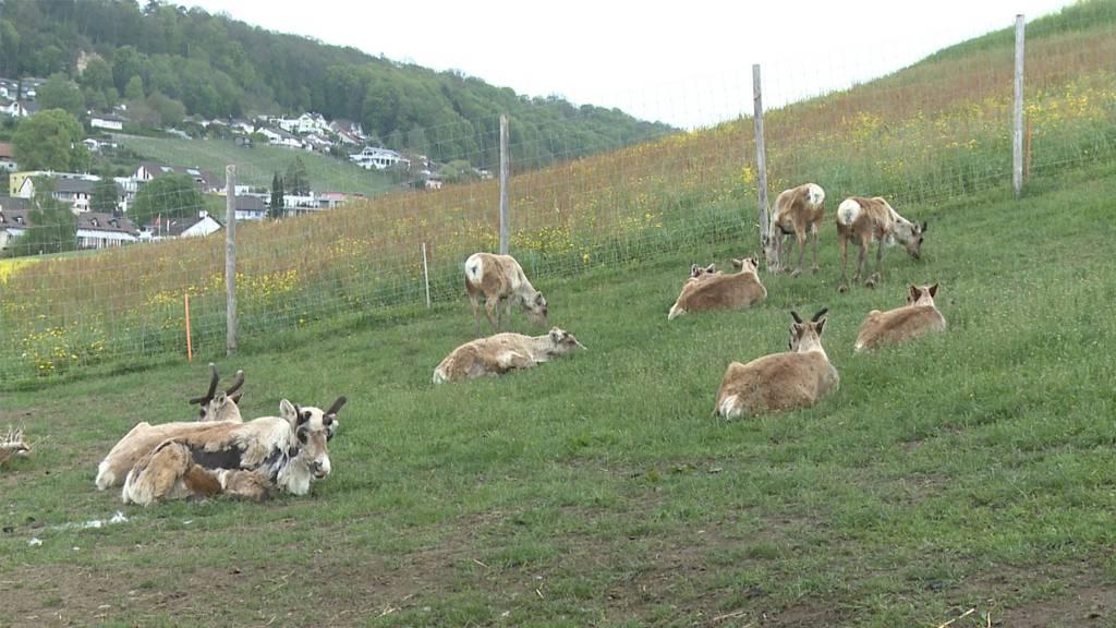 Nordische Hirsche