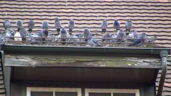«Wir wissen nicht mehr, was wir gegen die Taubenplage tun können.» In Aarau wächst der Unmut über die Vögel. (Symbolbild)
