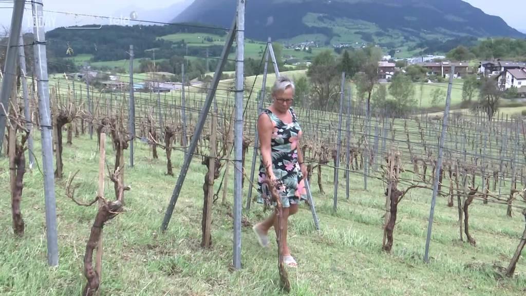 Kein Wein: Die Reben der Familie Knüsel sind total verhagelt