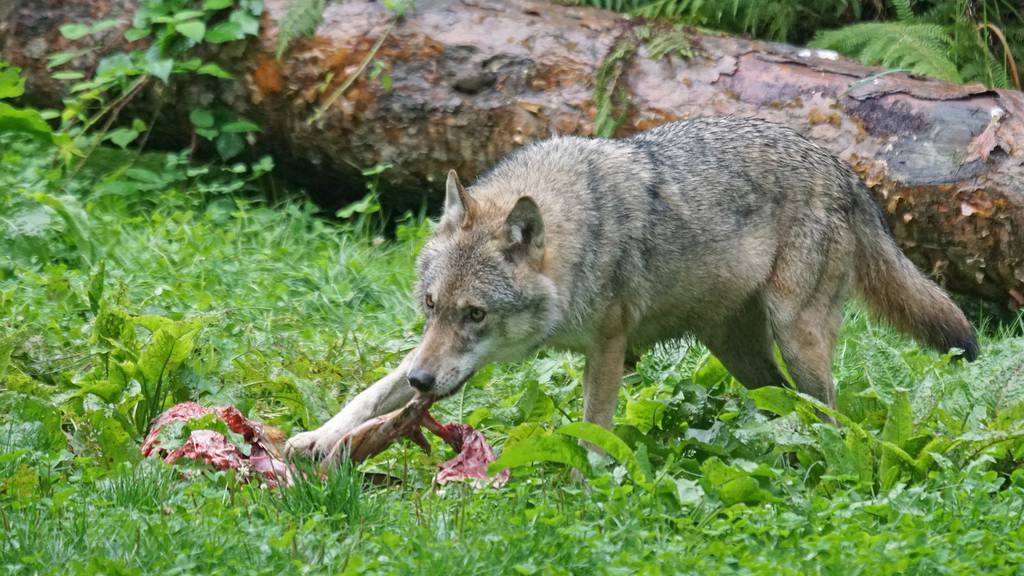 Erster Wolfsriss im Kanton Luzern seit Jahren