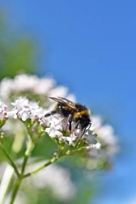 Bienenflug in Urdorf