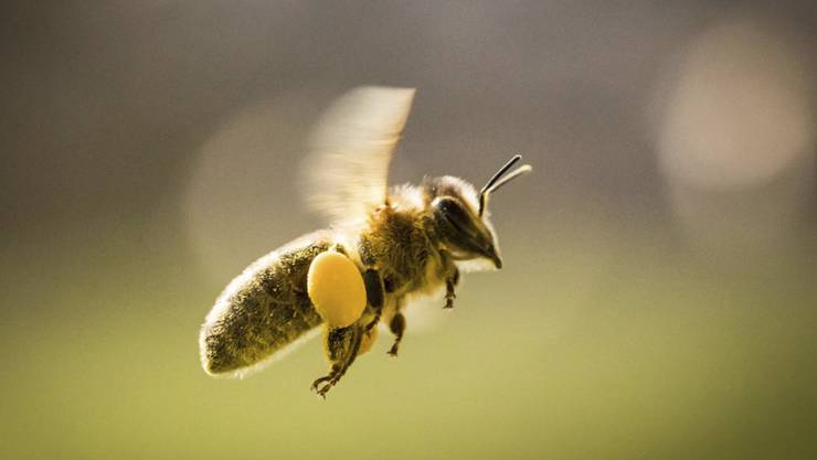 Selbst im Bio-Acker ist die Biene vor den als Bienengift kritisierten Neonicotinoiden nicht sicher. (Themenbild)