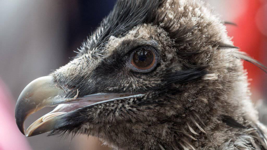 Schils flog nach seiner Auswilderung im Mai 2014 bis nach Holland. Dort musste er aber aufgepäppelt werden. Nun ist er zurück in Freiheit. (Archiv)