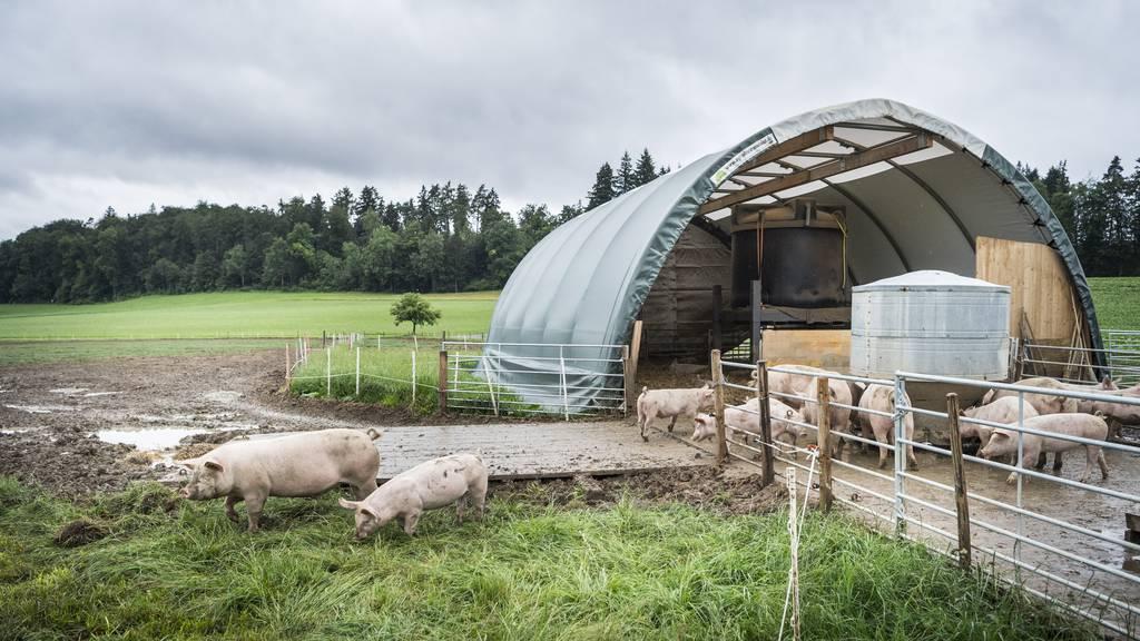 Landschaftsbild wichtiger als Freilandhaltung – Schweine zurück in Stall