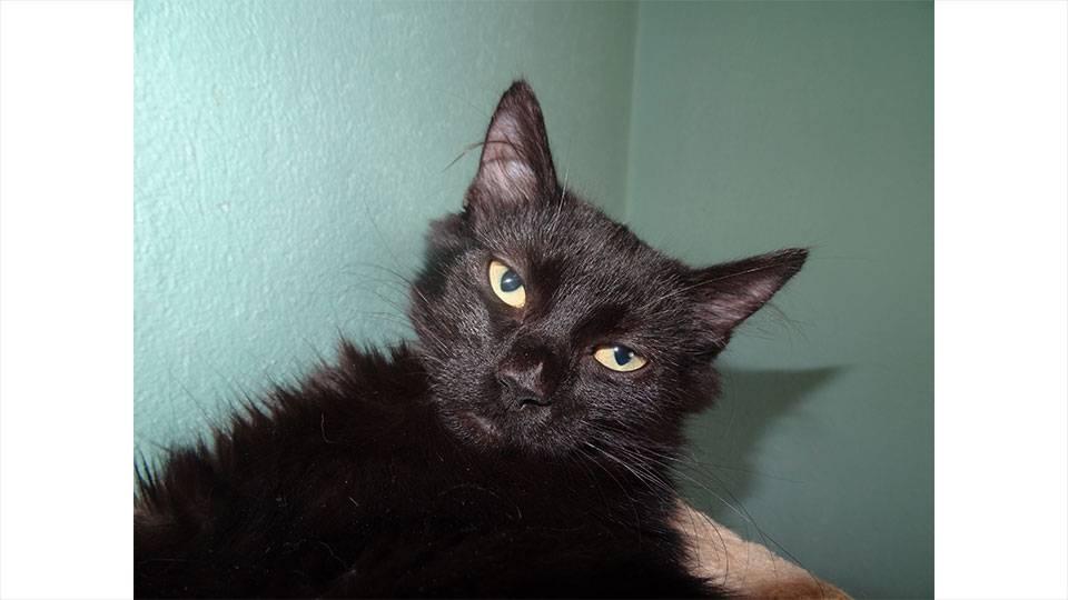 Jungkatze (schwarz)