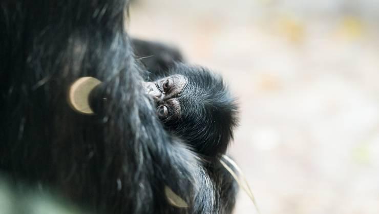 Ein Schimpansenbaby im Zoo Basel.