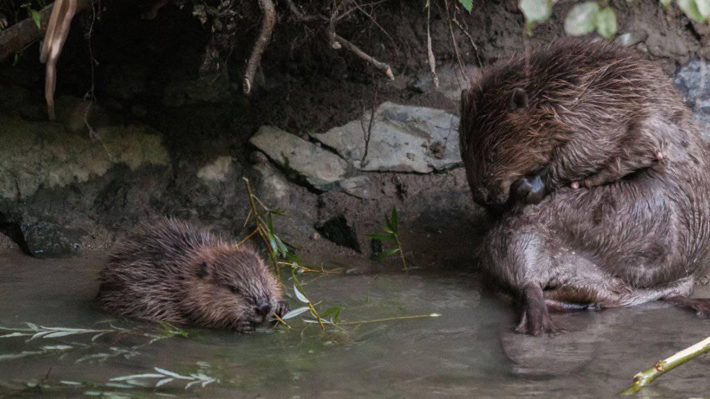 Ein erwachsener und ein junger Biber auf einem Bild von Pro Natura.