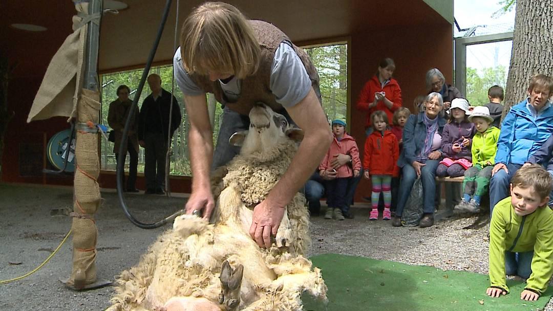 Wenn der Coiffeur kommt: Hier gehts den Schafen im Berner Tierpark Dählhölzli an den Kragen