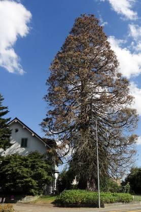 Wie gehts dem Oberrohrdorfer Wahrzeichen? Der Baum im Juli 2015.