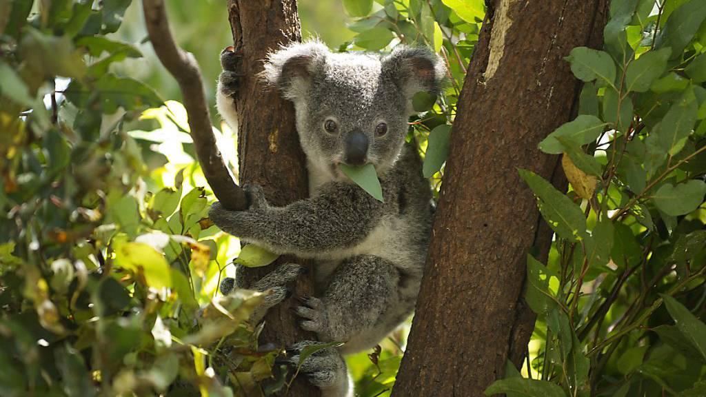 Hunderte Koalas vermutlich bei Buschfeuer verbrannt