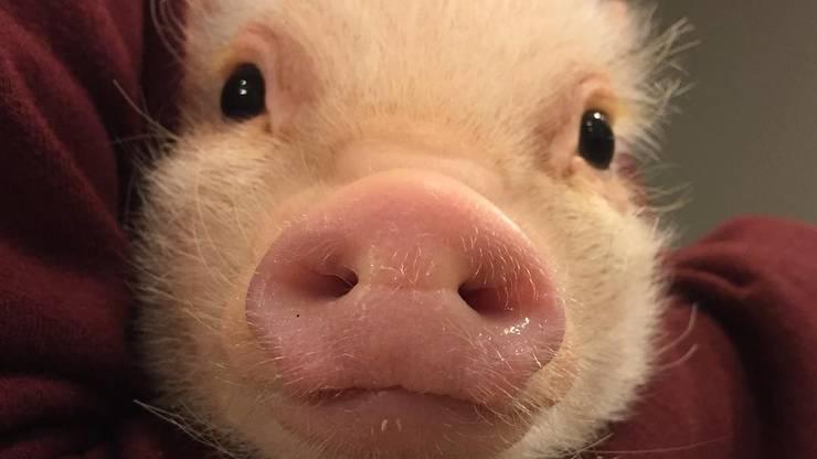 Er gehört der Gattung Minischwein an, die ausgewachsen lediglich etwa 80 Zentimeter lang und 50 Zentimeter hoch ist, wie etwa ein mittelgrosser Hund.