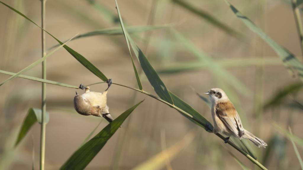 Schweizer Vogelfreunde zählen 167'000 Zugvögel an einem Wochenende