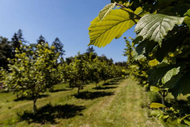 Haselnussplantagen im Piemont sind nicht besonders auffällig – solche in der Schweiz schon.