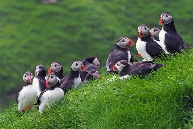 Auf den Färöer-Inseln werdet ihr garantiert eure Bekanntschaft mit diesen Papageitauchern machen.