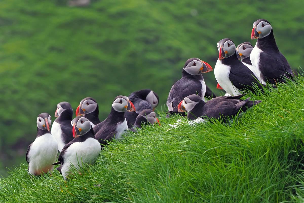 Auf den Färöer-Inseln werdet ihr garantiert eure Bekanntschaft mit diesen Papageitauchern machen. (© Corrado Filipponi)