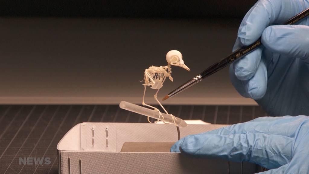 """""""Bis auf die Knochen"""": So arbeitet ein Knochenpräparator im Museum"""