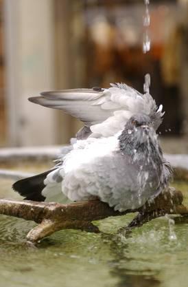 Manchmal lädt das Wetter auch die Tauben zum baden ein.