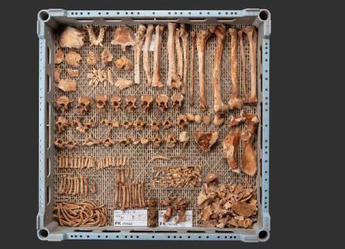 Das aus der Verfüllung der Latrine geborgene Skelett eines jungen Berberaffens ist fast vollständig erhalten. (Foto: Philippe Saurbeck, Archäologische Bodenforschung Basel-Stadt)