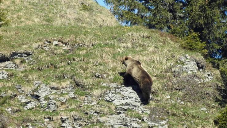 In der Gemeinde Eriz wurde ein Bär gesichtet.