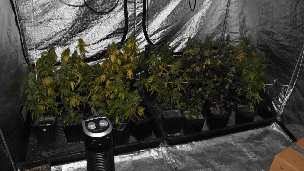 Mit Hanfpflanzen im Kofferraum unterwegs